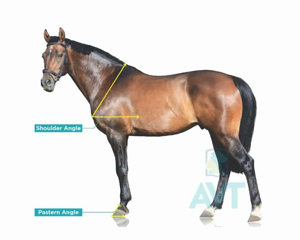 Horse conformation - angles